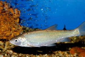 рыба шемая